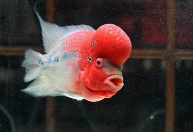 罗汉鱼为什么会突然死亡?